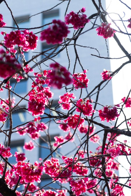 Blossoms in Tokyo