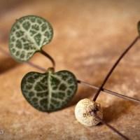 rosary plant