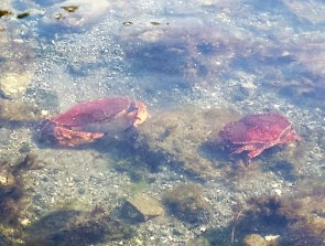 Red rock crabs competing