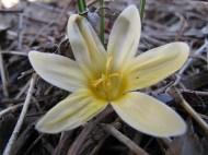 gul krokus 31 mars