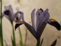 Iris reticulata 'Gordon' 3