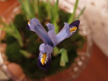 Iris reticulata 'Gordon' 5
