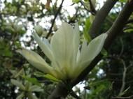 23 maj 14 Carinas trädgård magnolia