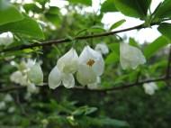 23 maj 14 Carinas trädgård snödroppsträd