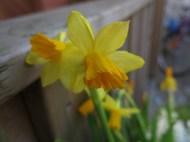 27 feb 15 vårblommor ingången påsklilja