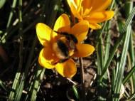 12 mars 15 vårtecken gul krokus humla