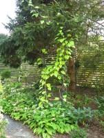 6 sep 14 trädgård IK 31