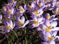 8 mars 15 vårtecken krokus