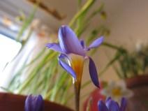 trädgårdsrum trädgårdsbod vårblomning mars 1