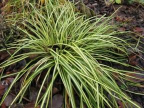20 dec 15 carex evergold gräs