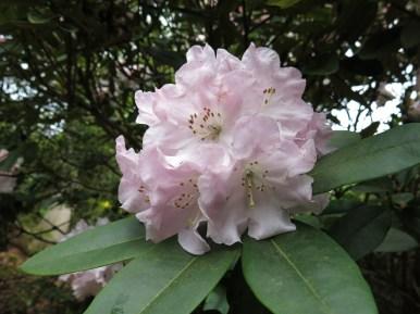 17 maj 15 Sofiero rosa rhododendron