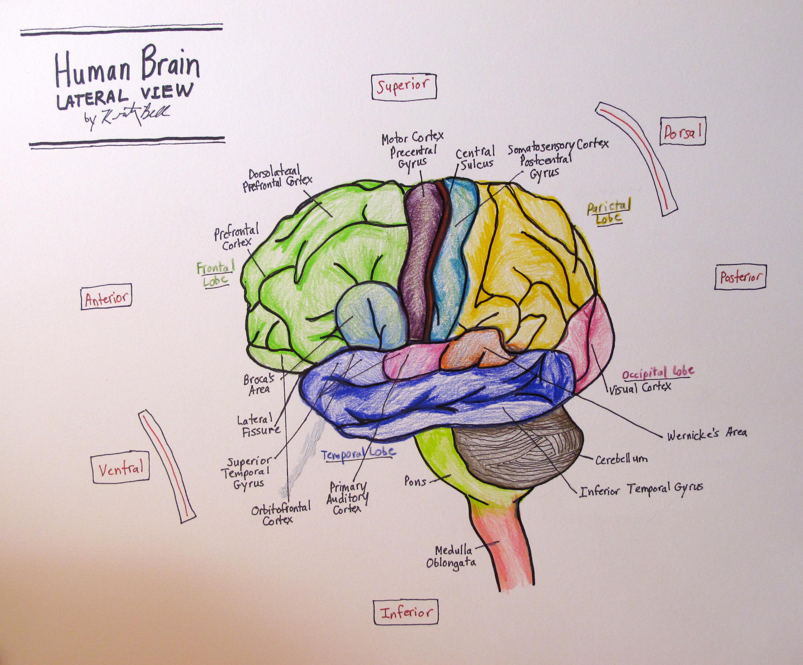 Lateral Human Brain 4th Neuro Drawing