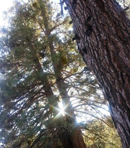 Pine trees and the sun setting at Big Bear Lake