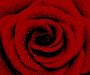 Red rose spiral