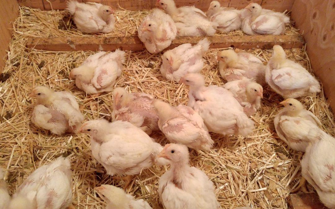 Ugly Chicks