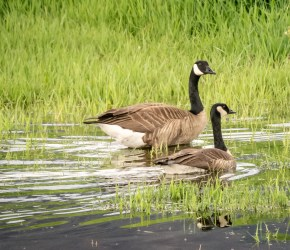 wildlife_canada-geese