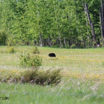 Alaska Bound: I Saw a Black Bear!