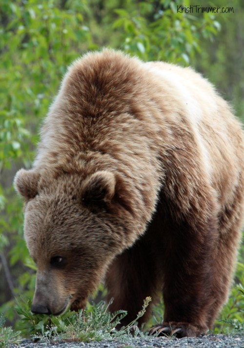 6-4-14 Grizzly Bear_2