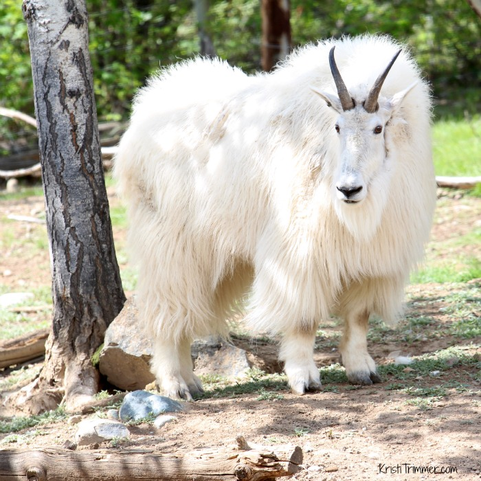 6-4-14 Mountain Goat_2