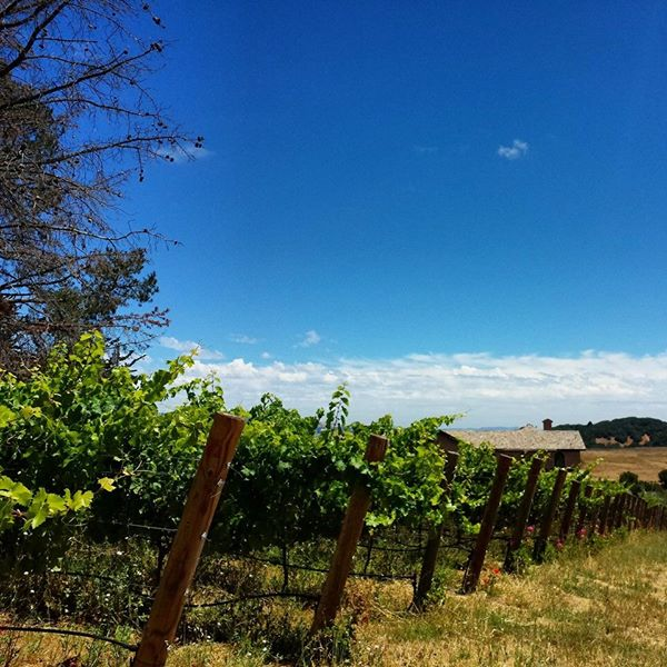 7-22-14 Petaluma Grape Vines