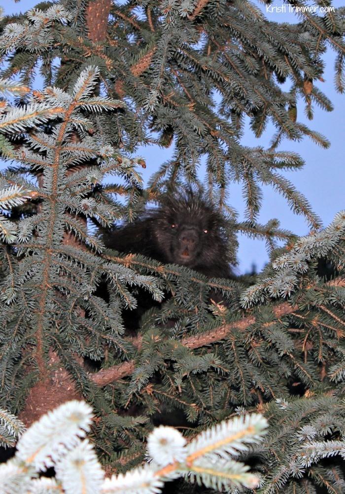 8-30-14 Fox Island Porcupine 700x1000
