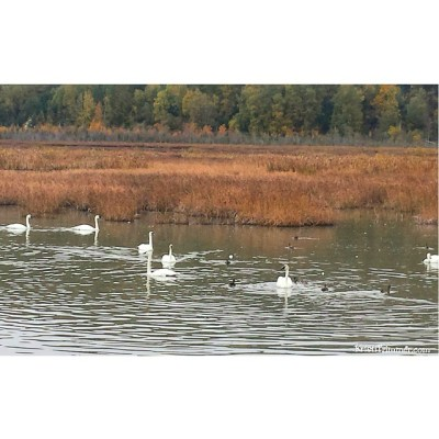 9-27-14 Trumpeter Swans