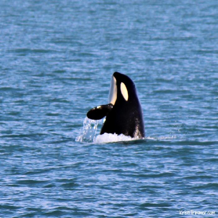 Alaska - Orcas