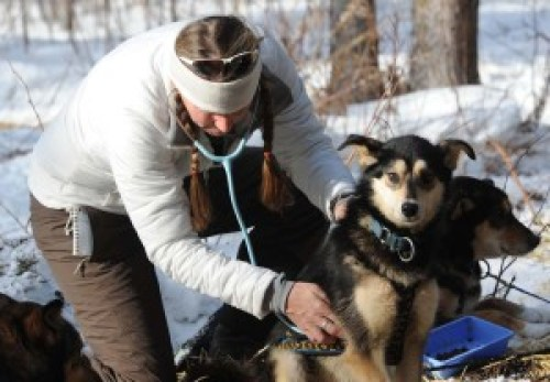 Iditarod dogs are checked over by vets before the race and at every checkpoint #iditarod #dogmushing #alaska