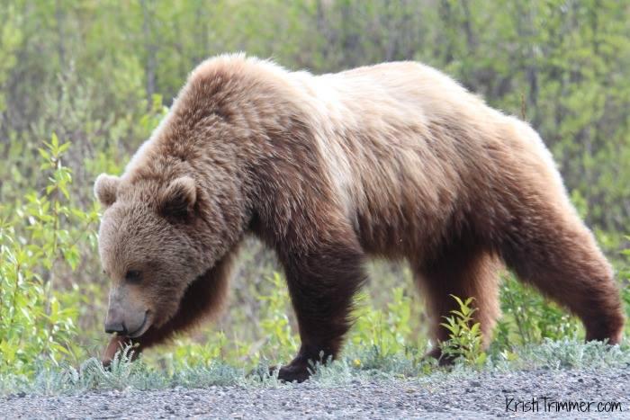 Brown Bear in Alaska #bears #brownbear #grizzlybear #grizzly #alaska #alcan
