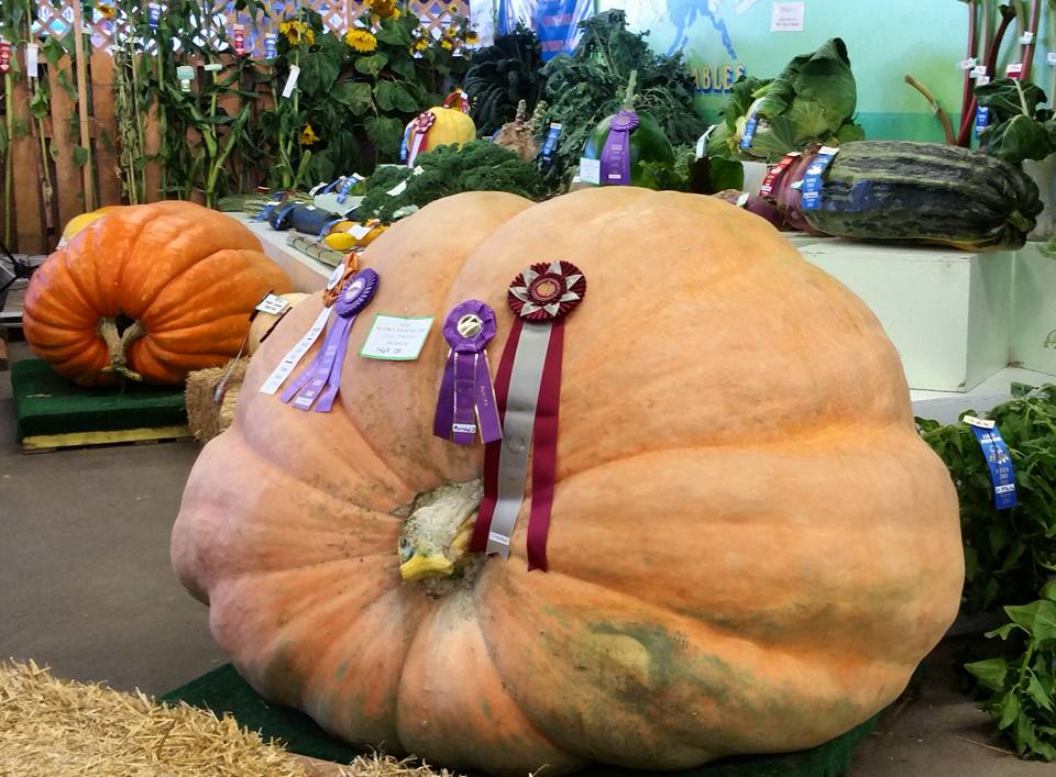 Largest Pumpkin in the World at Alaska State Fair #pumpkin #alaskastatefair #akstatefair #statefair #giantpumpkin