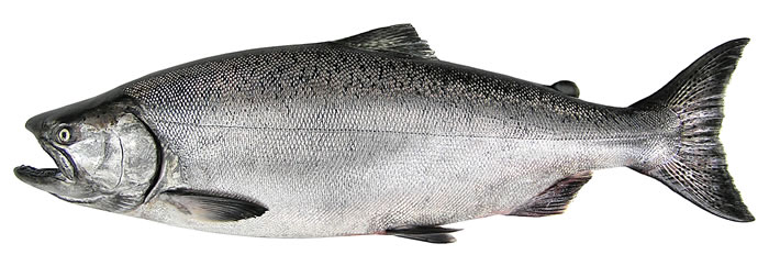 Alaska State Fish: Chinook King Salmon #kingsalmon #salmon #alaskasalmon