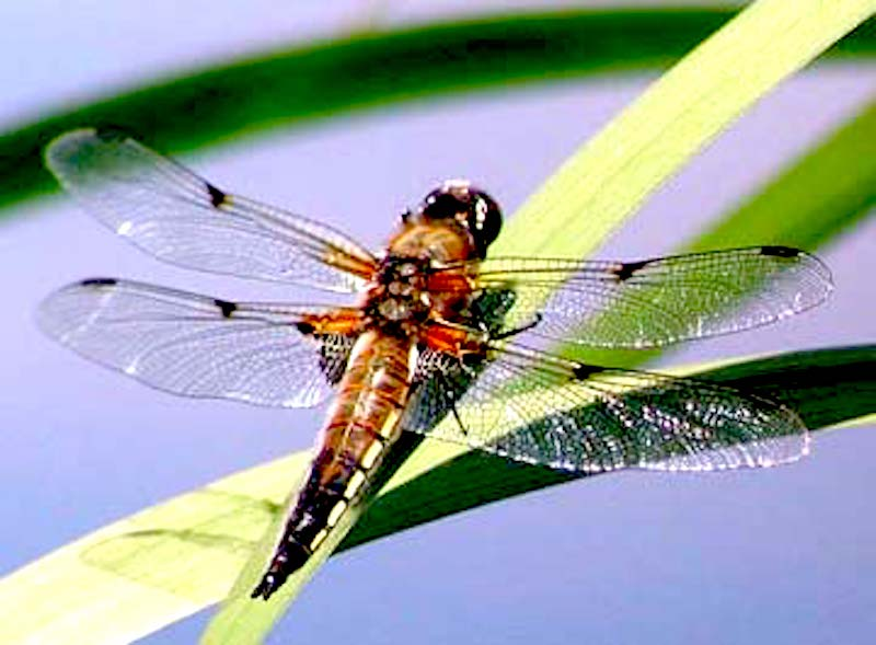 Alaska State Insect: Four Spot Skimmer Dragonfly #dragonfly #orangedragonfly