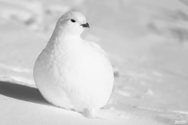 Alaska State Bird is the Willow Ptarmigan who is brown in the summer and changes to a brilliant white in the winter. #Ptarmigan #alaska #alaskabirds