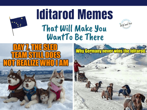 Iditarod Memes That Will Make You Want To Be There #dogsleds #iditarod #dogmemes #funnymemes
