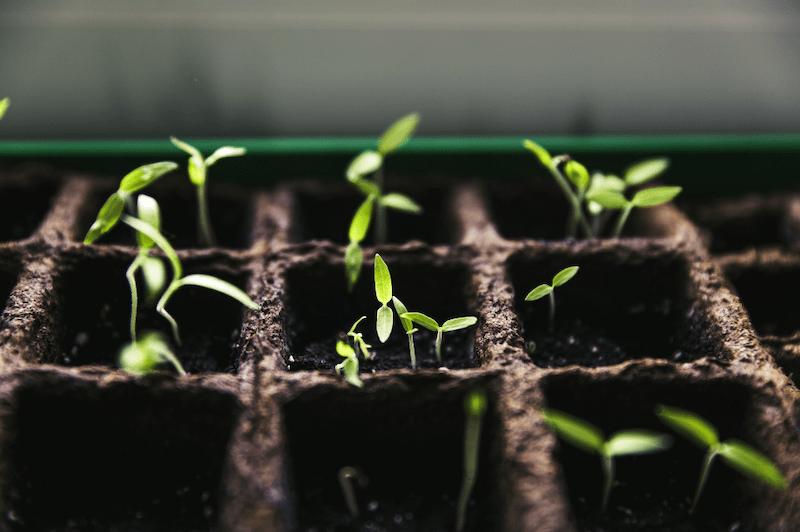 Tomato Seedlings in growing cells #growingtomatoes #tomatoseedlings #growtomatoes