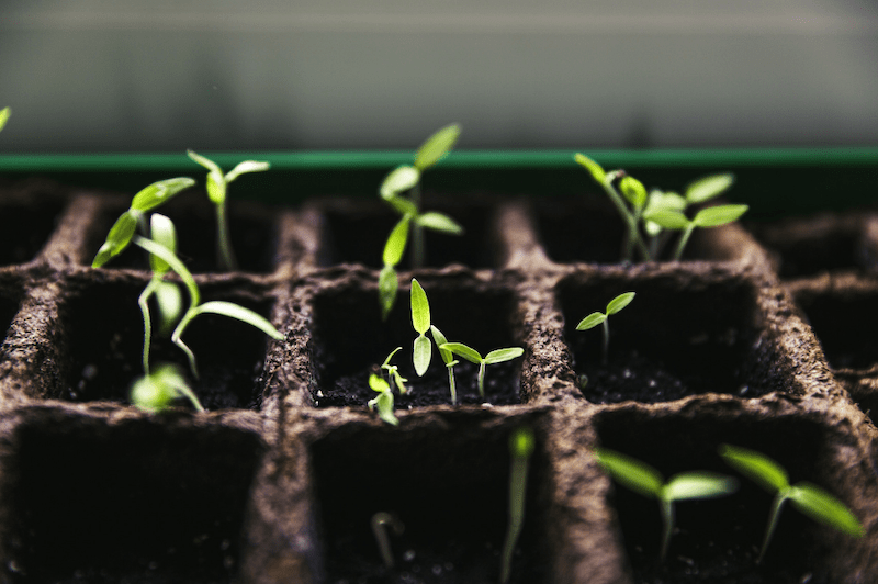 Tomato Seedlings in growing cells #growingtomatoes #tomatoseedlings #growtomatoes
