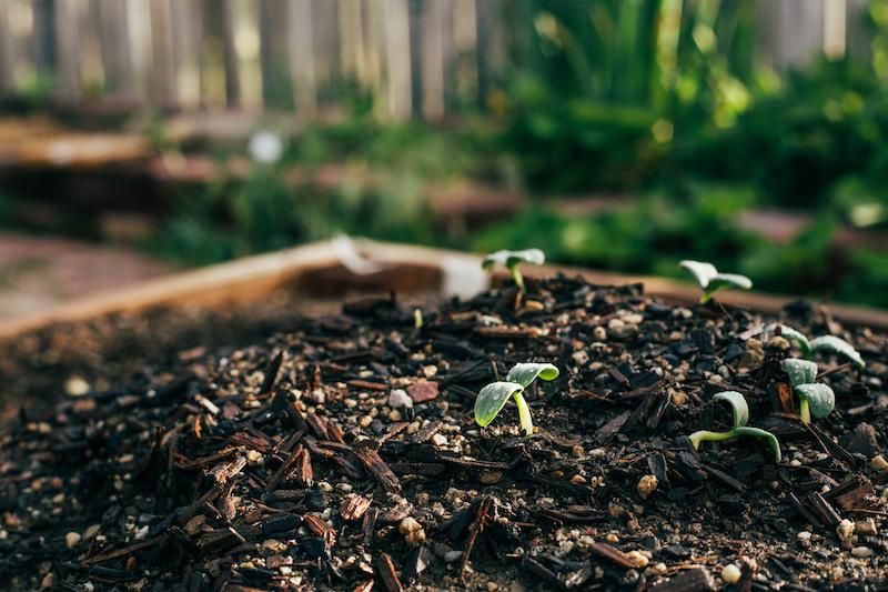 Vegetable seedlings ready to grow in the spring garden #gardentips #vegetablegardening