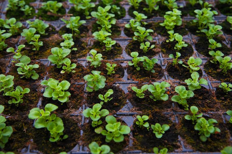 Young lettuce seedlings growing up big and strong. #seedlings #gardentips