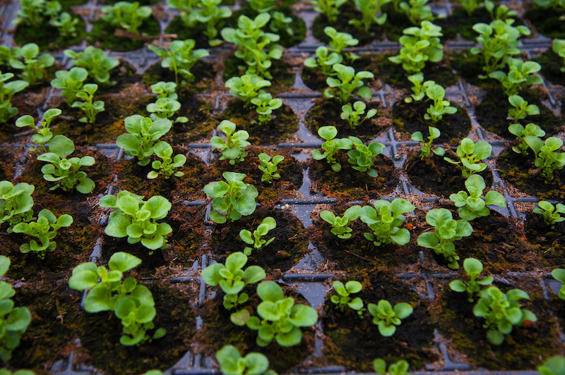 Young lettuce seedlings growing up big and strong. #seedlings #gardentips