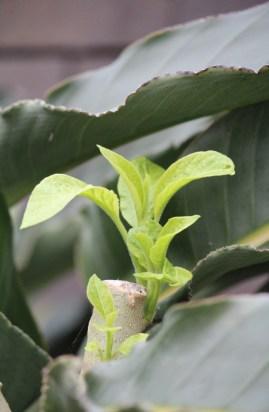 uitlopers van trompetplant