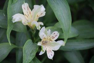 alstroemeria in volle grond in de serre gaf de ganse winter een beperkt aantal bloemen, maar staat nu klaar om in volle pracht te ontluiken