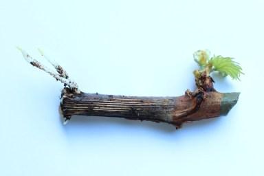 de eerste tere wortels, tijd om te verpotten