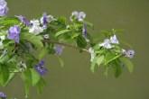 brunfelsia pauciflora: de bloemen verkleuren langzaam van blauw naar wit en geven een intense vanilleachtige geur