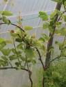 de kiwistruik met sterke nieuwe scheuten, in de bladoksels verschijnen hier en daar (vrouwelijke) bloemen