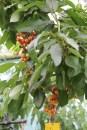Kersen sunburst : de boom heeft vrees ik meer kersen dan blaadjes