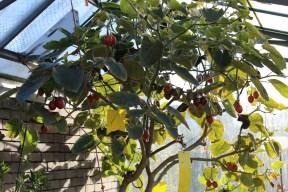 25-12-2013: boom met 10tallen vruchten
