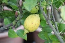 11-01-2014: citroenen blijven het gemakkelijkst te kweken