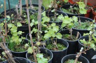 04-04-2015: de planten van vorig jaar zitten al iets verder, nu nog het onkruid wieden
