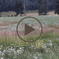 Vallecitos Deer: an Attention Restoration Meditation (1 minute)
