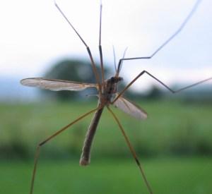 mosquito - morguefile